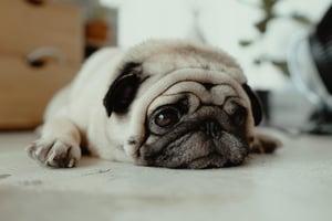 pug diagnosed with COVID-19